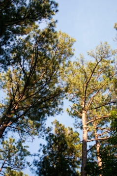 Surrounded by loblolly pines