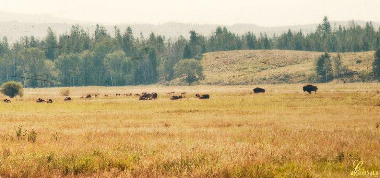 Bison-Old-West