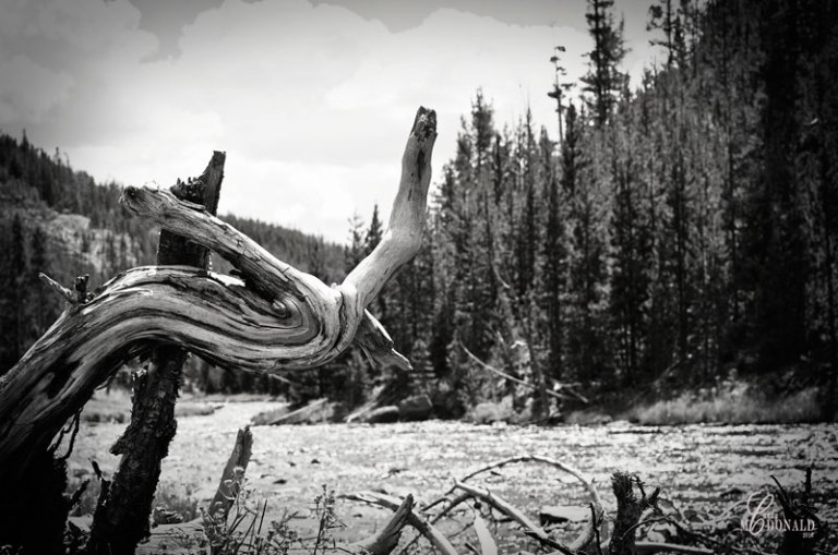 Gnarled-fallen-tree-bw