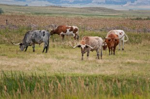 Longhorn-grouping