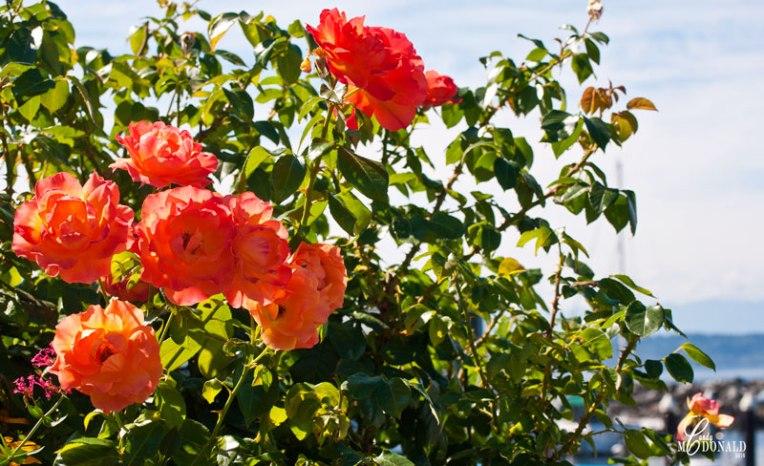 wonderful-smelling-roses