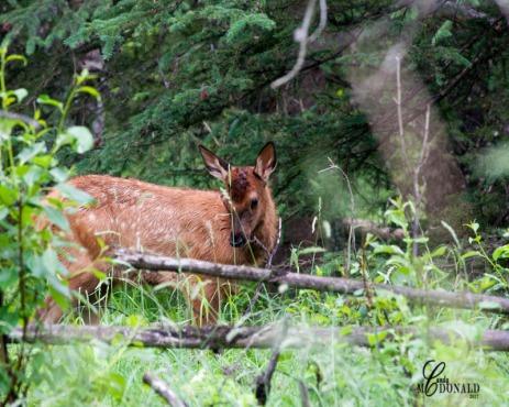 Elk baby