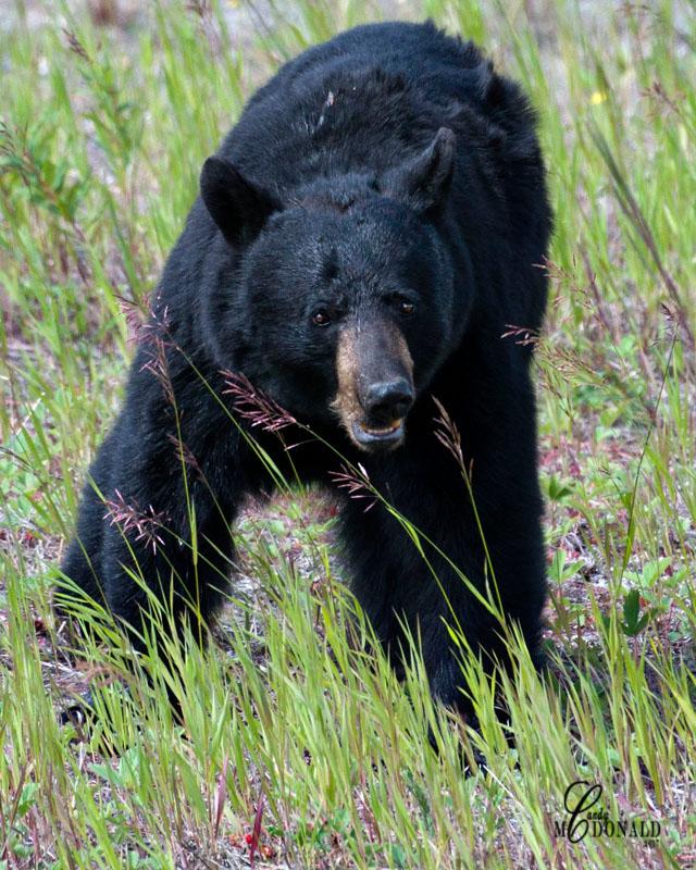 Bear crop 2