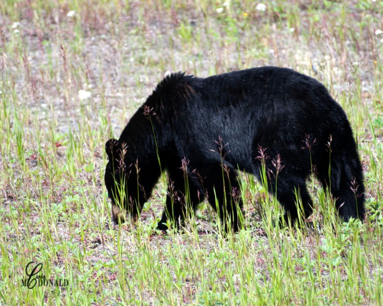 Bear grazing