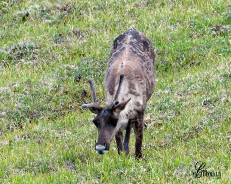 Caribou crop DSC_0038