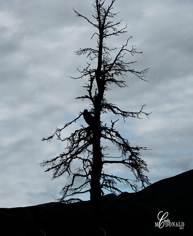 Tundra tour raven DSC_0075