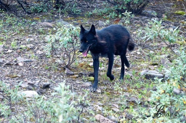 Wolf DSC_0008