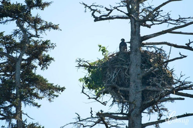 Eaglet in nest DSC_0185
