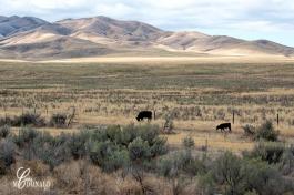 Cattle DSC_0007