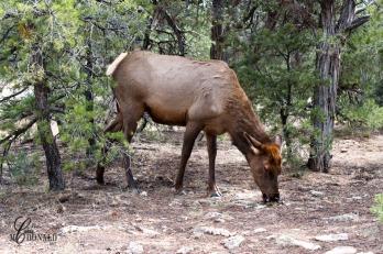 Mule Deer DSC_0075