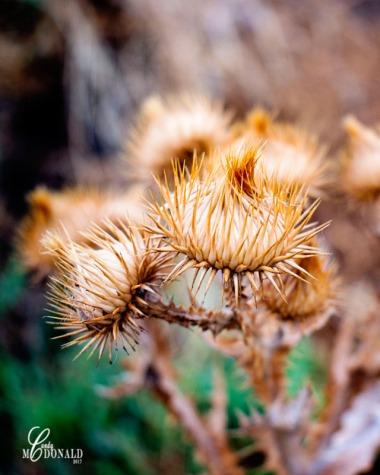 Spiky seed pod DSC_0113