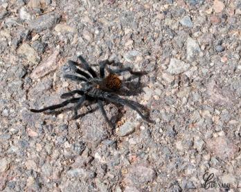 Tarantula DSC_0110