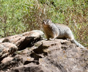 Zion squirrel DSC_0017