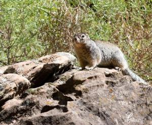 Zion squirrel DSC_0017