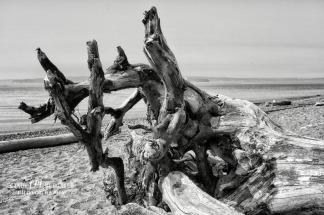 Driftwood bw DSC_0007
