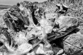 Driftwood bw DSC_0012