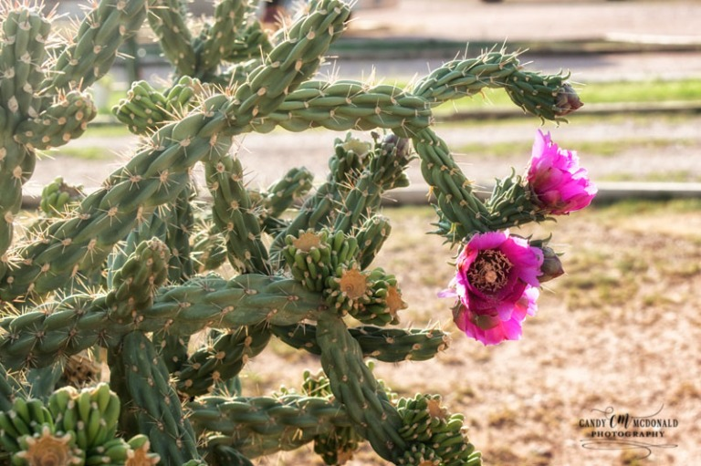 Pink bloom of the cholla tree
