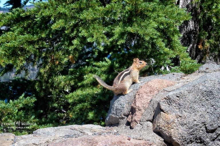 Chipmunk on rocks