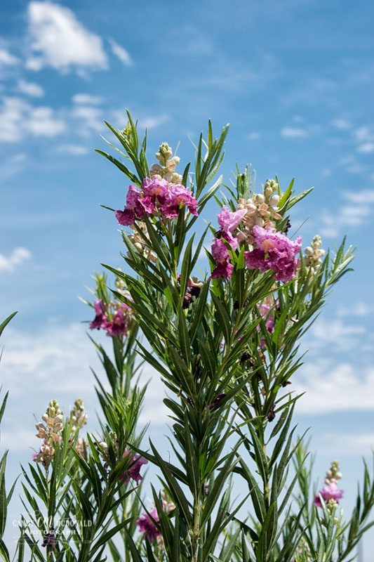 The pink bloom on a Desert Willow tree set against a blue sky