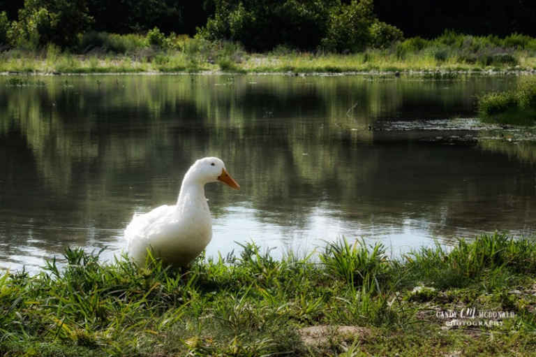 White duck sitting along the banks of the South Llano River