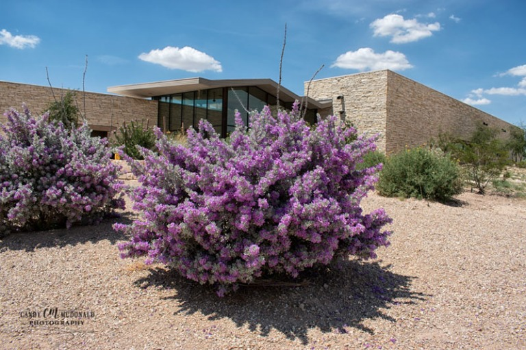 Beautiful Texas Ranger Purple Sage bush outside visitor center on I-10